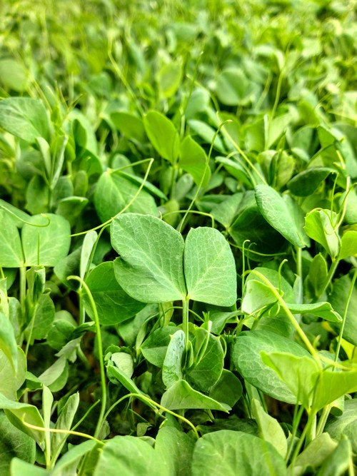 Speckled Pea Shoot